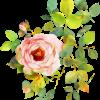 Canva - Rose Watercolor